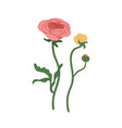 elegant flowers ranunculus with blossomed and vector image
