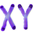 X and Y chromosomes vector image vector image