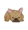 adorable puppy of boston terrier in lying down vector image