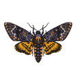 hand drawn acherontia styx butterfly color vector image