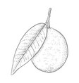 lime fruit with leaf black and white hand drawn vector image