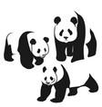 panda bear curious panda wildlife vector image vector image