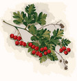hawthorn branch vector image vector image