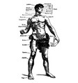 vintage engraving a male body medical graphic vector image vector image