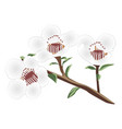 a brunch of manuka blooming vector image vector image