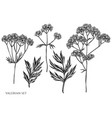 set hand drawn black and white valerian vector image vector image