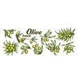 color assortment different olive branch set ink vector image