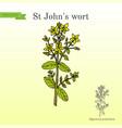 st john s wort hypericum perforatum medicinal vector image vector image