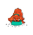 a cute brown spaniel eats dog food from a bowl vector image