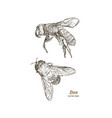 engraving of honey bee vector image vector image