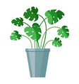 flat style green monstera in flower pot vector image