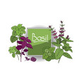 set of basil plant vector image