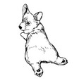 pembroke welsh corgi dog vector image