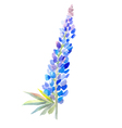 blue lupine watercolor prewew vector image vector image