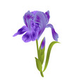 flower violet iris with leaves colored sketch vector image