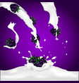 blackberries falling into the milky splash vector image vector image