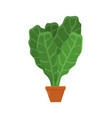 lettuce planted in brown pot vector image