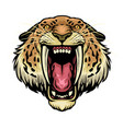 angry sabretooth lion head vector image