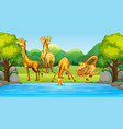group giraffe in nature vector image vector image