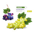 grapes vine realistic template autumn vector image