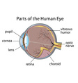 Human eye vector image