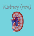 human organ icon in flat style kidney vector image