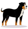swiss mountain dog vector image vector image
