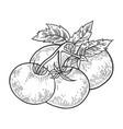 tomato sketch engraving vector image vector image