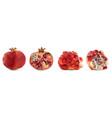 3d realistic pomegranate tropical fruit vector image