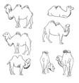 set of camels vector image