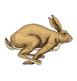 Soaring hare wild forest animal jumping up gray