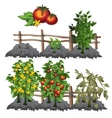 Growth stages of tomatoes agriculture vector image vector image