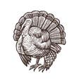 turkey farm animal sketch isolated turkey bird on vector image vector image