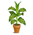 office potted dieffenbachia tree isolated on vector image