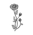officinalis chamomile medical plant sketch vector image