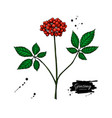 ginseng berry drawing medical plant sketch vector image vector image