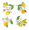 watercolor lemons branch with leaves and flowers vector image vector image