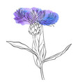 drawing corn flower vector image vector image