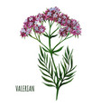 valerian plant with small flowers medical plant vector image vector image