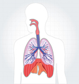 Respiratory system lungs human body