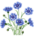 Blue cornflowers bunch vector image vector image