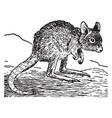 rat kangaroo vintage vector image vector image