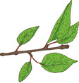 apricot branch with green leaves vector image vector image