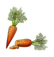 sliced carrot vector image
