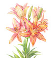 hemerocallis day-lily vector image vector image