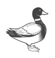 wild duck isolated on white vector image vector image