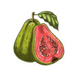 Guava tropical fruit sketch isolated icon vector image