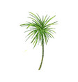 coconut palm or queen palmae with leaves vector image vector image