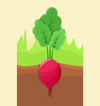 radish growing in ground vector image vector image