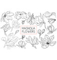 magnolia flowers drawing and sketch with line-art vector image